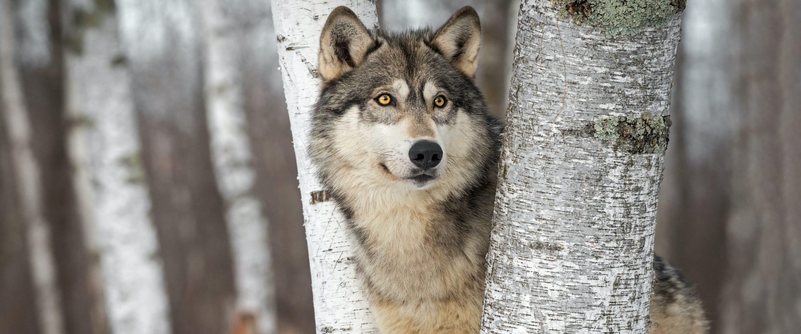 Wil jij ook wolven en jakhalzen leren temmen?